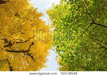 Green and yellow fall leaves of Ginkgo Biloba Maidenhair trees with blue sky in autumn at Japan