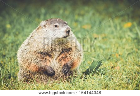 Groundhog in vintage garden setting standing up and looking