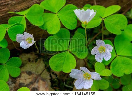Wood-sorrel plant closeup against fuzzy forest stand background, Bialowieza Forest, Poland, Europe