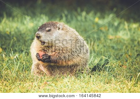 Groundhog in vintage garden setting, standing up with carrot in hand and mouth open, looking left