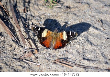 Australian Yellow Admiral butterfly, Vanessa itea, casting a shadow on the ground in the Royal National Park, Sydney