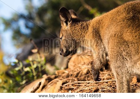 Wallaby in natural background lit by grazing light