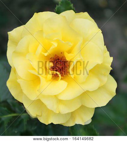 Beautiful yellow rose in the summer garden
