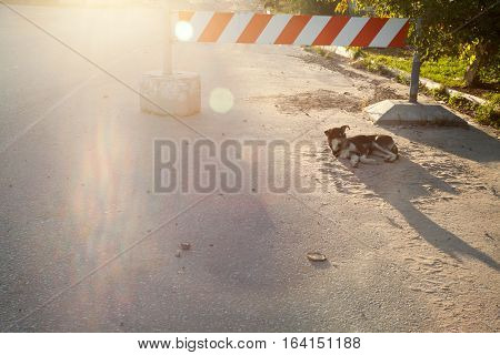 Lonely stray cur dog lying on a road under the stop sign on a sunny day. One cute homeless mongrel on a road near the barrier