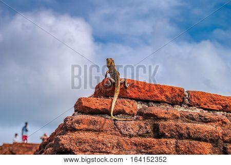 Black-lipped lizard on the red brick wall. Sigiriya Lion Rock. Sri Lanka.
