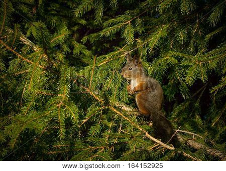A squirrel sitting upright in a spruce tree watching down