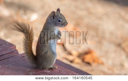 Endearing, springtime Red squirrel, close up,  Standing up on a deck, paws tucked to chest.