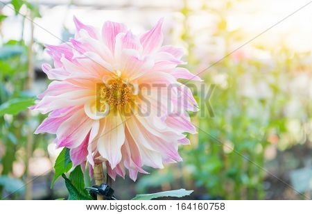 Hybrid Soft Pink Dahlia Flower In Autumn Season