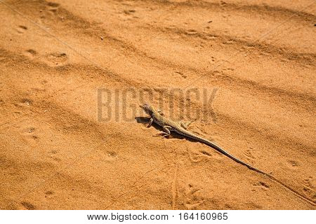 One Of The Typical Inhabitants Of The Sahara
