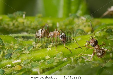 The symbiosis of ants and aphids. Ant tending his flock