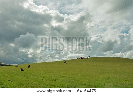 Cattle grazing on an hillside in the British countryside.