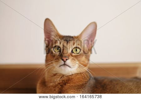 young abyssinian cat sitting on the floor, shallow focus portrait