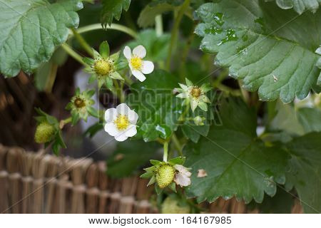 Unripe strawberries growing on the farm stock photo