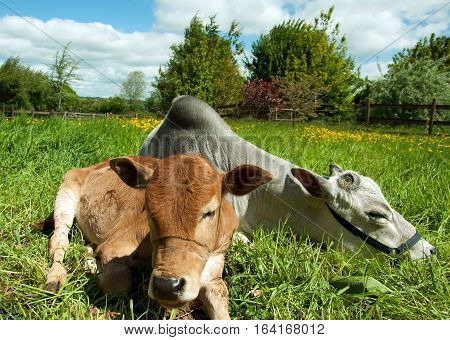 Young cattle relaxing in a meadow in the British countryside.