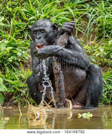 The Adult Bonobo Drink Water. Natural Habitat. Green Natural Background. The Bonobo ( Pan Paniscus),
