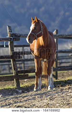 Thoroughbred Horse Looking Over Wooden Corral Fence