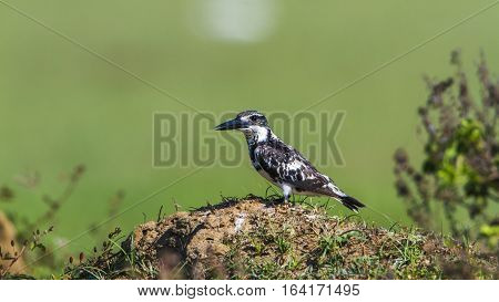 Pied kingfisher in Arugam bay lagoon, Sri Lanka ; specie Ceryle rudis family of Alcedinidae