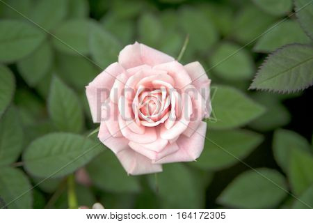 Beauty pink roses on green leaf - stock photo