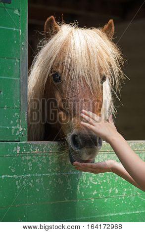 Child stroking a shetland pony (Equus przewalski caballus)