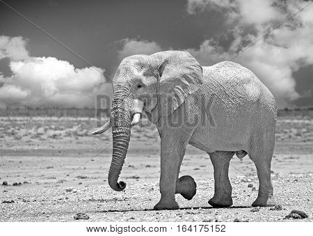 Large Bull African Elephant (Africana Loxodonta) walking across the empty dry plains in Etosha National Park, Namibia, Southern Africa - with a dramatic cloudy sky in black & white