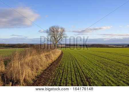 Green Wheat And Vale Of York