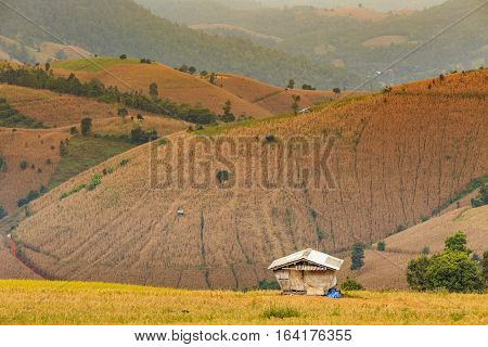 Small hut in rice field with rice stubble left after harvesting and corn field at Ban Pa Pong Piang Chiang Mai province Thailand