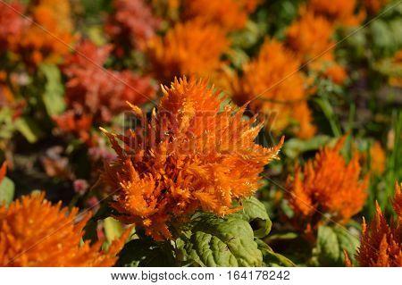 Orange various celosia flowers in the garden