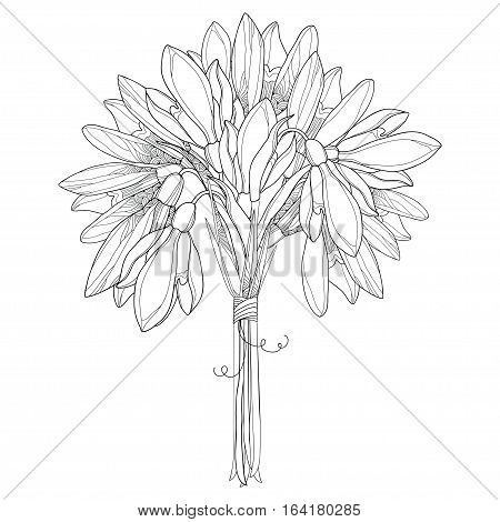 Vector bouquet with ornate outline Snowdrop flowers or Galanthus isolated on white background. Floral elements for spring design and coloring book. Traditional spring flower in contour style.