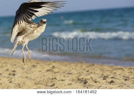 Seagull (lat. Larus silver) on the beach