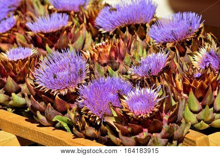 Bees collect nectar on the flowers of the artichoke