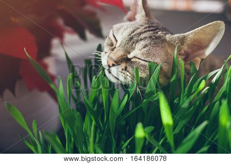 Clouse-up of a beautiful devon rex cat eating fresh green grass. Pet grass. Natural hairball treatment