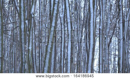 Frozen trees with rime as a background