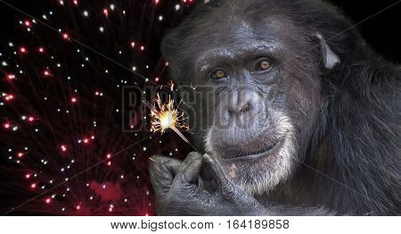 A chimpanzee holding a firework sparkler with fireworks background