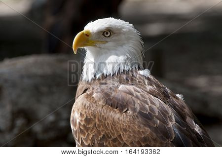 Bald Eagle, Haliaeetus leucocephalus. It is a bird of prey found in North America