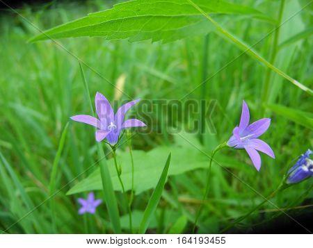 Wild-growing flowers Hand bell sprawling (Campanula patula)