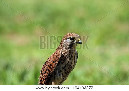 Adult female Kestrel sitting on a perch