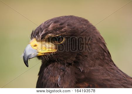 Head shot of a Russian Steppe Eagle