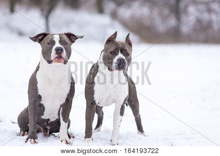 Blue Staffordshire Terrier on a walk in the park boy and girl in the winter. Bitch and cable. Rendezvous Staffordshire terrier in the winter.
