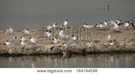 Mediterranean Gull (Ichtyaetus melanocephalus) couple in the middle of a Group Black-headed Gull's (Chroicocephalus ridibundus) on a small Island in a Lake