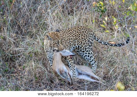 Leopard With A Duiker Kill.