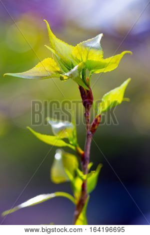 tree branch with buds background at the spring