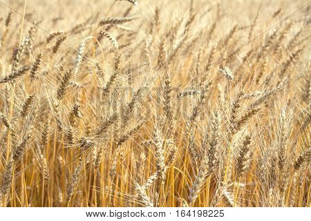 Lot ears of rye on rural field on summer day closeup as background