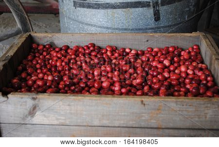 Fresh harvested Cranberries in a wooden crate