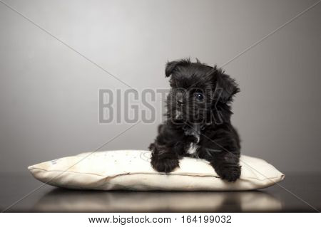 Cute puppy, (mix breed of Yorkie, Shitzu and Malteese), laying on a pillow. The pillow reflection showing on floor. Grey background.