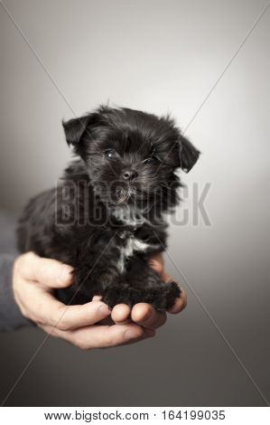Man hands holding a cute black fluffy puppy, the breed is a mix of Maltese, Shih Tzu and Yorkshire Terrier. The puppy is looking forward and there is a grey background.