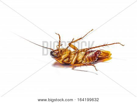 selective focus and closeup cockroach dead on white background