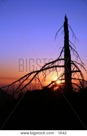 The sun setting behind an old dead pine tree. poster