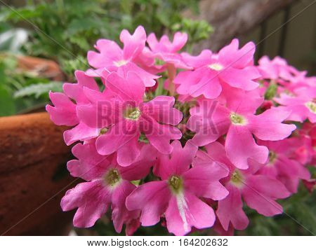 Pink verbena flowers trailing from a terracotta pot