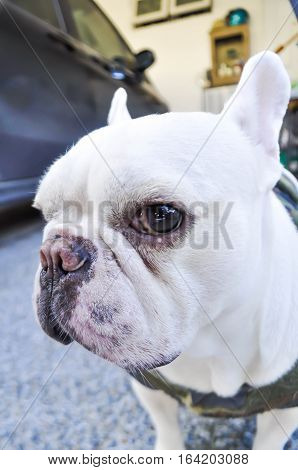 white French bulldog's looking to the camera