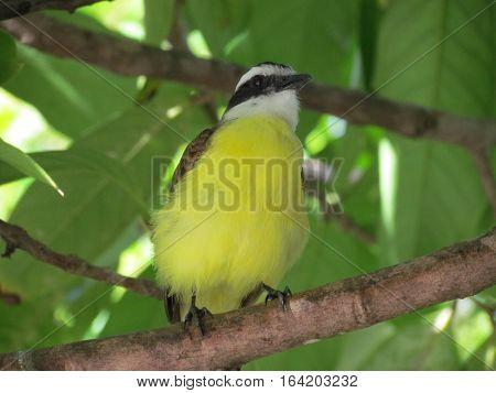 brazilian bem te vi bird in nature